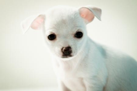 chiwawa: Chihuahua puppy