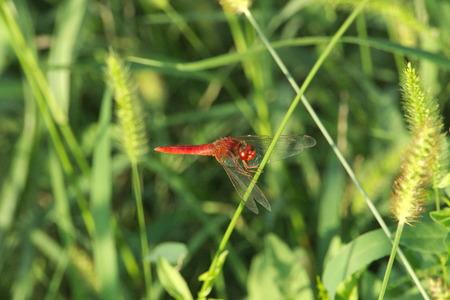 libellula: Libellula Rossa, Red Dragonfly Stock Photo