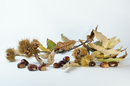 husk: chestnut branch with autumn leaves, chestnut, husk, on a white background