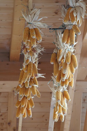 drying corn cobs: Dried corn cobs Stock Photo