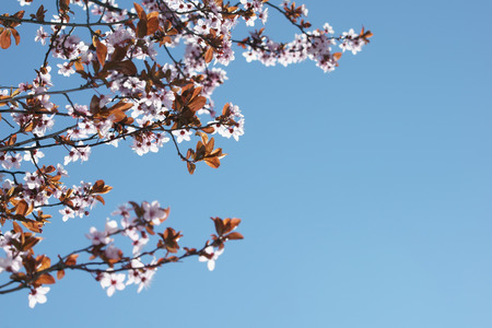 prunus cerasifera: Prunus cerasifera on blue sky background