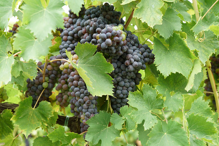 ripening: closeup of ripening bunch of red wine grapes , region of Chianti, Siena, Tuscany, Italy, Europe           Stock Photo