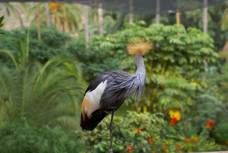 Grey Crowned Crane head turned photo