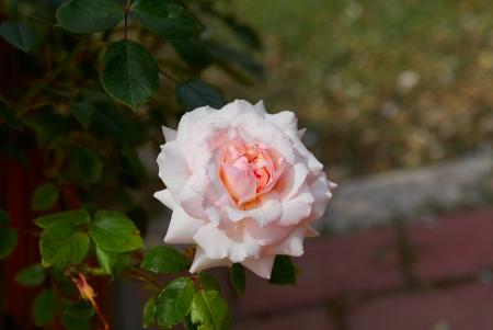 valentinas: Beautiful pink rose sunny  in garden Stock Photo