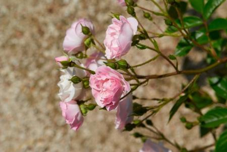 Beautiful pink rose sunny  in garden Stock Photo - 13758035