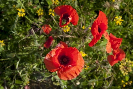 Flowers of red poppy among  juicy green grass  Stock Photo - 13910418