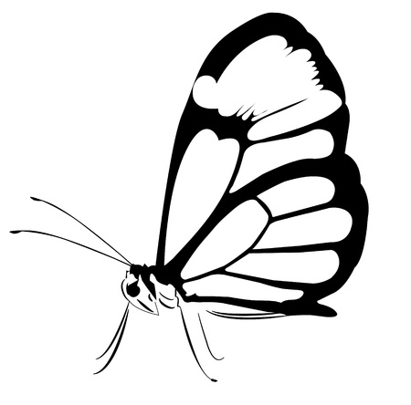 A huge black and white butterfly Vector
