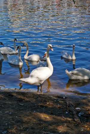 White swans on the glistening water of a mountain lake photo