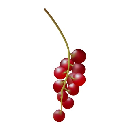 red currant: Branch ripe berries of red currant