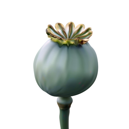 stuffing: Poppy green capsule on stalk closeup on white background Illustration