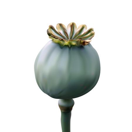 opium: Poppy green capsule on stalk closeup on white background Illustration