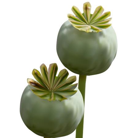 opium: Set of Poppy green capsule on stalk closeup on white background
