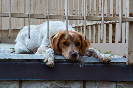 hunting dog: Welsh Springer Spaniel bright red hunting dog lies on the ground and sad near iron bars