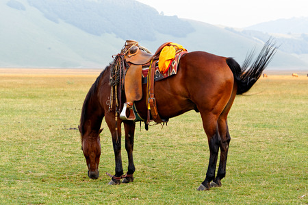 matted: Brown saddled a horse grazing in a field with matted legs. Stock Photo