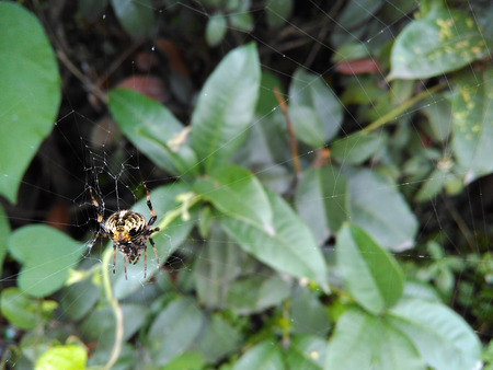 hairy legs: Predatory big brown spider with hairy legs spinning a web. The foliage in drops of rain.
