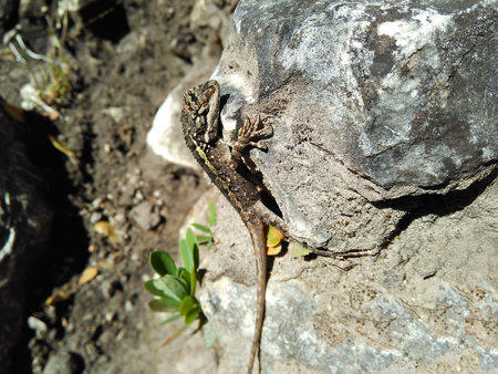 viviparous: Graceful green lizard predator basks on a rock in the sun.