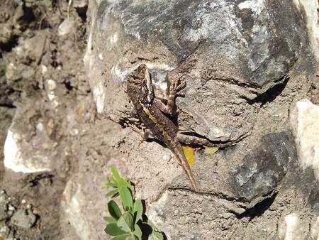 animal viviparous: Graceful green lizard predator basks on a rock in the sun.