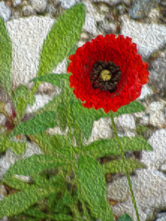 The flowers of red poppy closeup on grey background. Simulation of freehand drawing. Stock Photo