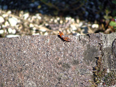 continuation: Pair of red insect bugs romantically connected for continuation of family. Beetles on the gray stone in mountains Stock Photo