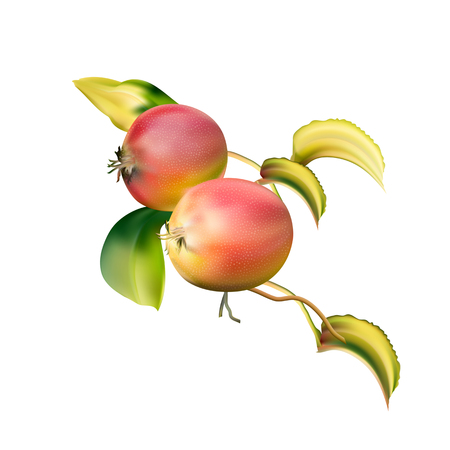 Red apples on the stem. Delicious fruit dessert. Apple closeup. A rich harvest. Winter-hardy apples. Illustration
