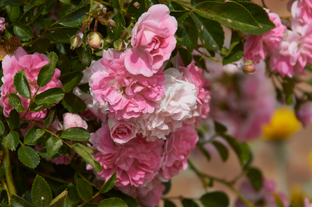 rose bushes in the old Spanish garden. Pink and red rose petals. Stock Photo