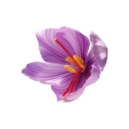 Saffron flower Bud open close-up. Stock Illustratie
