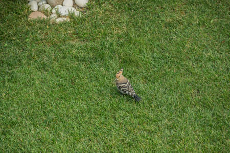 Hoopoe bird with bright plumage looking for insects in the grass. Bird Upupa in the garden on the lawn collects insects.
