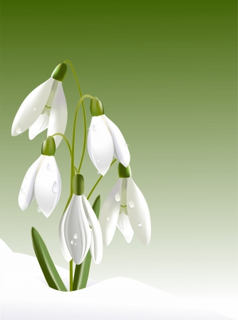 Snowdrops in drops Stock Vector - 18263613