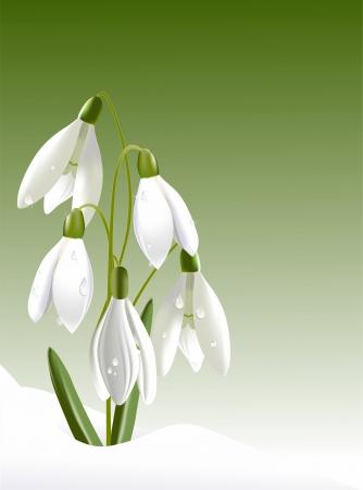 Snowdrops in drops Stock Vector - 18263613