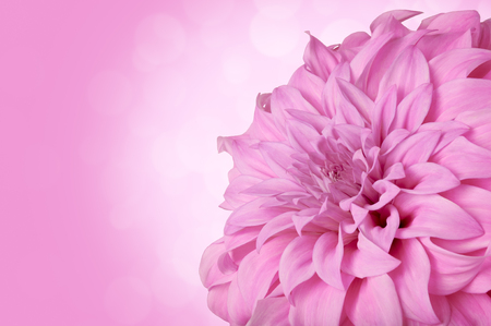 gentle: Pink Dahlia on a gentle background Stock Photo