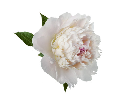 flower petal: large white peony on a white background