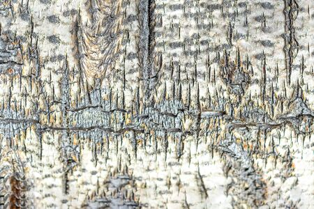 Texture, background. Aspen bark is old with cracks. Macro shot