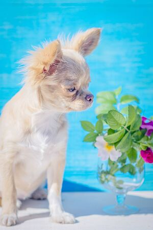 Red-haired chihuahua puppy close-up. Bouquet of rose hips in a glass goblet. On a blue background. Pastel shades. Selective focus