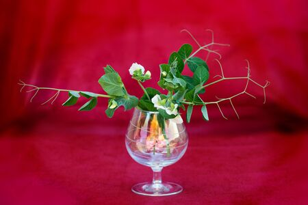Sprigs of peas with white flowers in a glass cup on a red background. Selective focus 写真素材