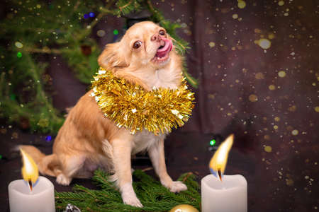 New Year. Chihuahua puppy sits on spruce twigs, and licks, two white candles are lit. Selective trick