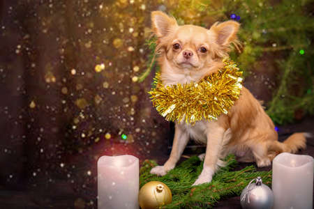 New Year. Chihuahua puppy with a golden tinsel on his neck sits on spruce branches, two white candles are burning. Selective trick Stock fotó