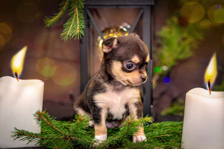 New Year. Chihuahua puppy sits on spruce twigs, two white candles are lit. Selective trick