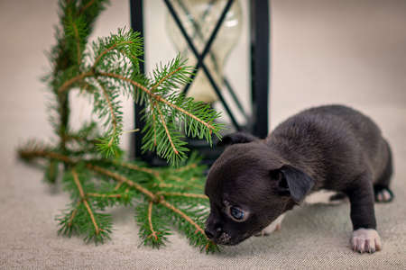 Dark puppy Chihuahua sits next to an old lamp and spruce branches Stock fotó