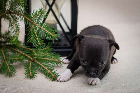 Dark Chihuahua puppy lies near an old lamp and spruce branches Stock fotó