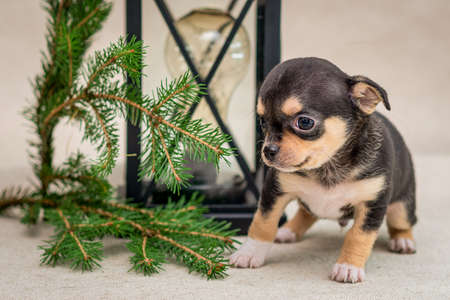 Dark puppy Chihuahua sits next to an old lamp and spruce branches.