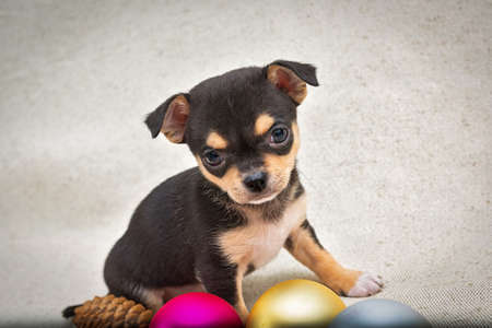 Black with red spots Chihuahua puppy sits next to the Christmas tree balls