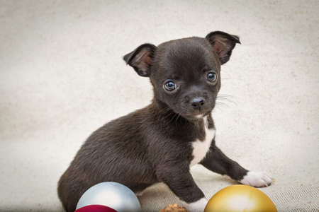 Black puppy Chihuahua sits next to the Christmas tree balls. Horizontal position