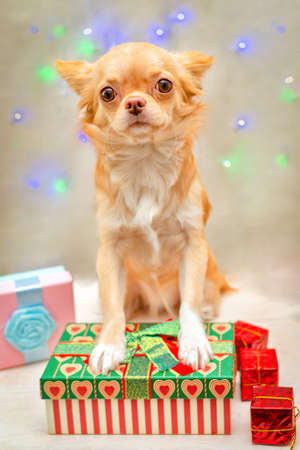 The redheaded fluffy Chihuahua dog looks forward, put its front paws on the gift box. Selective focus