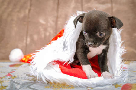 A little puppy sits in a Klaus Santa hat, brown wooden background