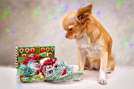 A redheaded fluffy chihuahua dog looks at the New Year composition. Selective focus