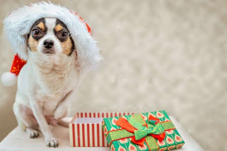 Chihuahua dog in Santa Claus hat looks forward, raised one paw, next to an empty open gift box. Selective focus Stock fotó