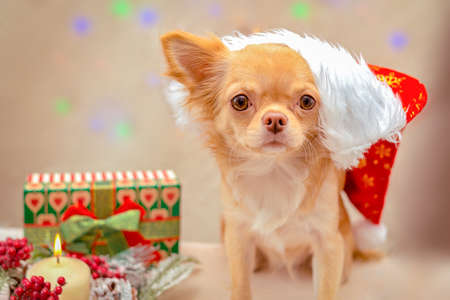 A redheaded fluffy chihuahua dog in a Santa Claus hat looks forward, next to the Christmas composition. Selective focus