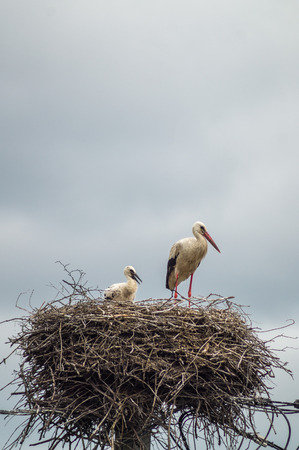 warm weather: Stork standing in its nest in warm weather Editorial