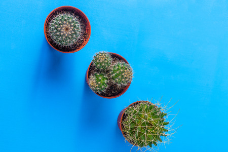Home succulent plants in small pots, on blue background, flat lay, horizontal. Stock Photo