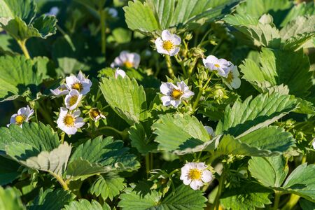 An image the Strawberry bush in bloom. Some first white strawberry flowers in the garden, summer.